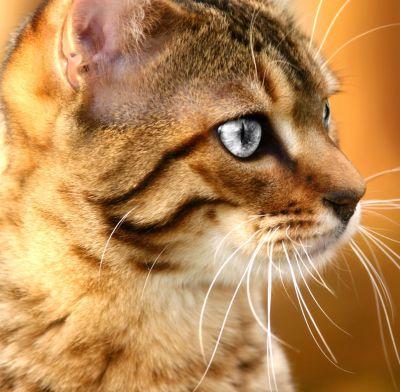 Feline Veterinary Dental Care