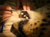 Cheetah root canal treatment