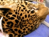 Jaguar's spots