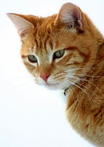 Treating Feline Dental Disease